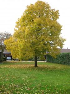 Lindetræ